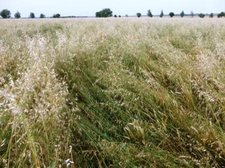 wild-oat-problem.jpg#asset:186